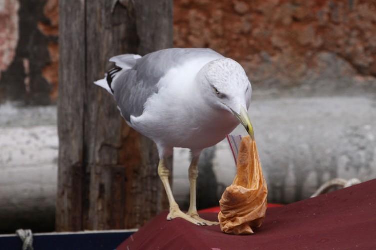 fiskmås i Venedig